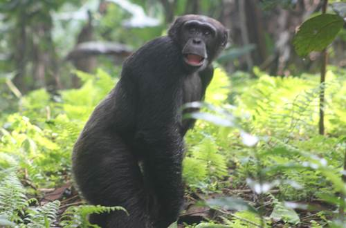 Wild Chimps Guinea Africa